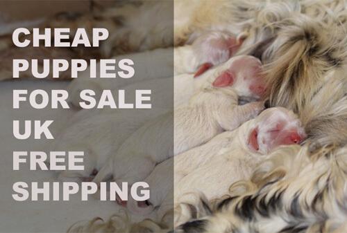 buy a puppy uk